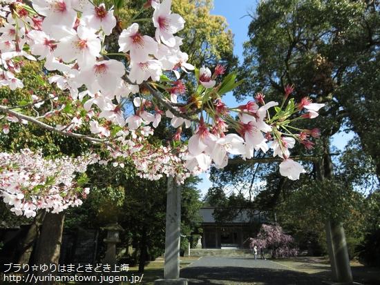 【大山町】桜満開!!名和神社