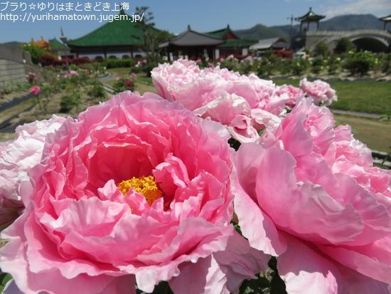 【湯梨浜町】中国庭園燕趙園で牡丹を楽しむ
