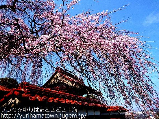【倉吉市】極楽寺のしだれ桜