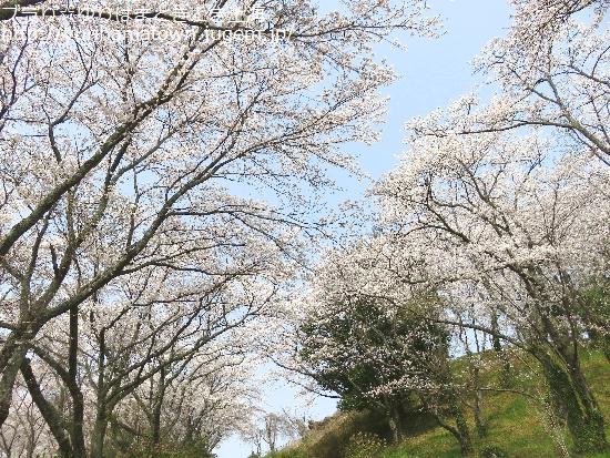 【湯梨浜町】藤津の桜トンネル