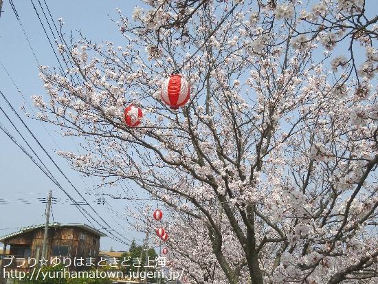【倉吉市】会下谷川の桜