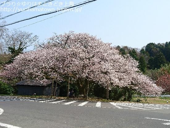 【琴浦町】上法万の大山桜