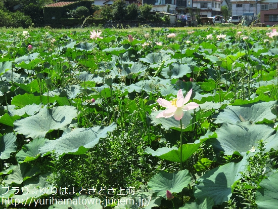 【鳥取市】幻想的な蓮の世界/鹿野町