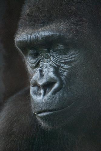 猿と言うか、ゴリラ・クリエイティブコモンズ 商用フリー画像 byfPat