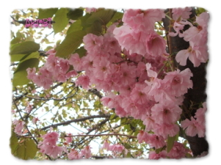 5月27日の桜