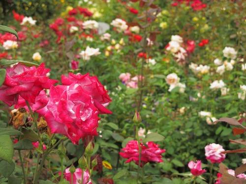 福山SA(上り線)のバラ3.jpg