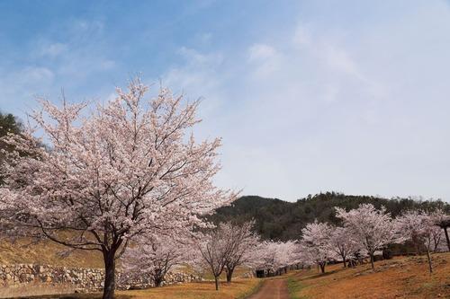 世羅 芦田湖の桜6.jpg