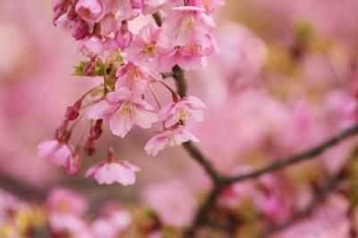 河津桜5.jpg