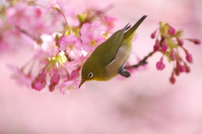 桜とメジロ.jpg