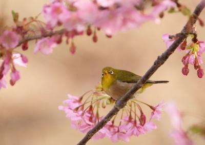 桜とメジロ3.jpg