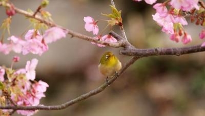 桜とメジロ5.jpg