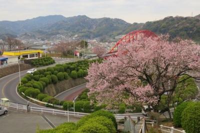 音戸の瀬戸公園の桜2.jpg