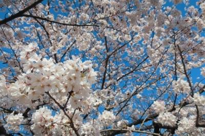 二河側の桜3.jpg