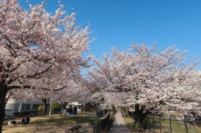 二河側の桜4.jpg