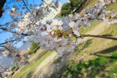 二河側の桜5.jpg
