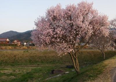 黒瀬の桜.jpg