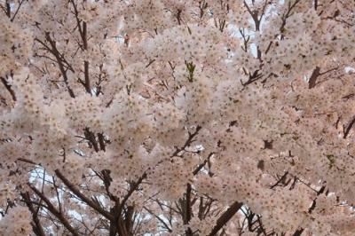 黒瀬の桜2.jpg