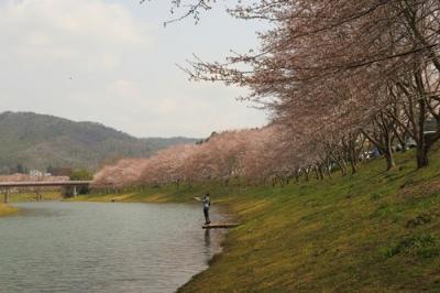 白竜湖の桜.jpg