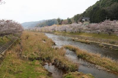 美波羅川の桜.jpg