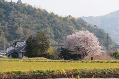 安浦 田園の中の桜.jpg