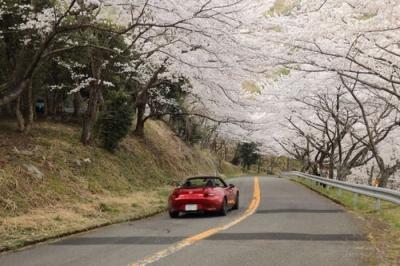 野呂山の桜.jpg