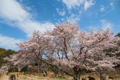 野呂川ダムの桜.jpg