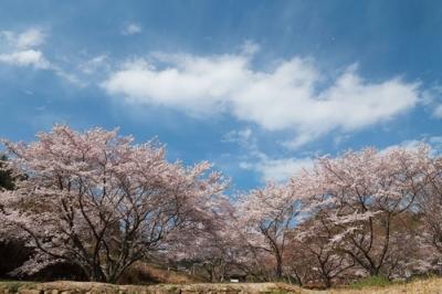 野呂川ダムの桜4.jpg