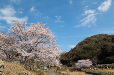 野呂川ダムの桜5.jpg