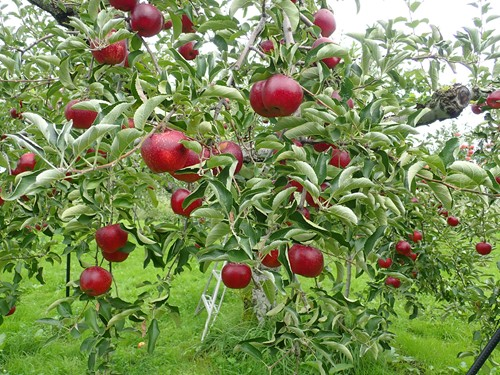 リンゴ刈り