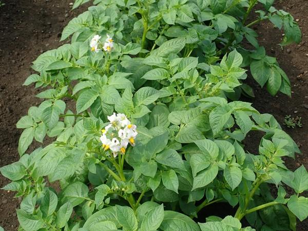 ジャガイモ 開花