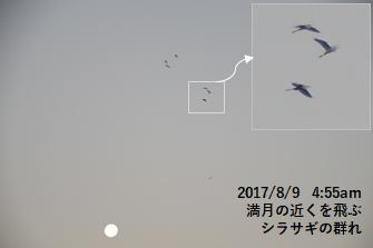 満月の近くを飛ぶシラサギの群れ