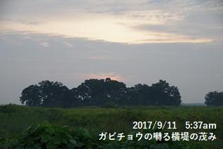 ガビチョウの囀る横堤の茂み
