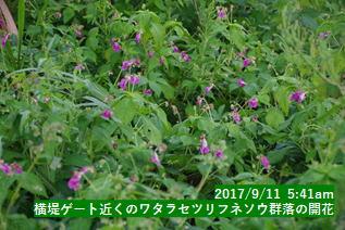 横堤ゲート近くのワタラセツリフネソウ群落の開花