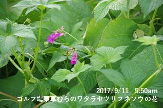 ゴルフ場東草むらのワタラセツリフネソウの花