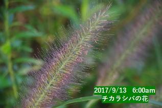 チカラシバの花