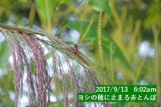 ヨシの穂に止まる赤とんぼ