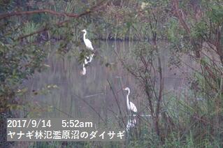 ヤナギ林氾濫原沼のダイサギ
