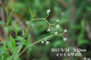 イシミカワの花