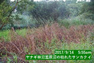 ヤナギ林氾濫原沼の枯れたサンカクイ