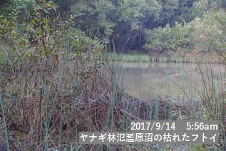 ヤナギ林氾濫原沼の枯れたフトイ