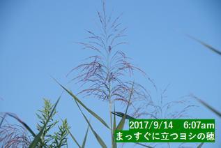 まっすぐに立つヨシの穂