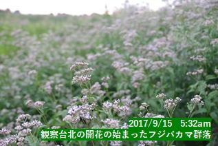 観察台北の開花の始まったフジバカマ群落