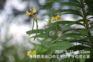 多自然池出口のミヤコグサの花と実