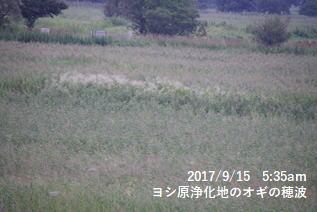 ヨシ原浄化地のオギの穂波