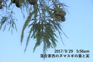 落合家西のヌマスギの葉と実
