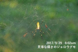 見事な輝きのジョロウグモ