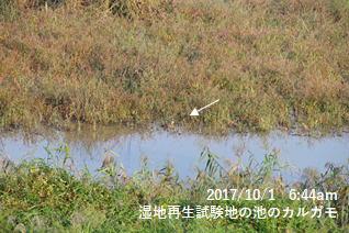 湿地再生試験地の池のカルガモ