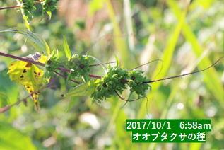 オオブタクサの種