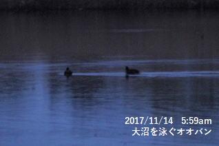 大沼を泳ぐオオバン