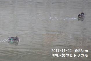池内水路のヒドリガモ